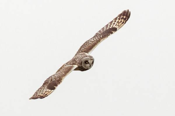 Owl In Flight Photograph - Short-eared Owl by John Devries