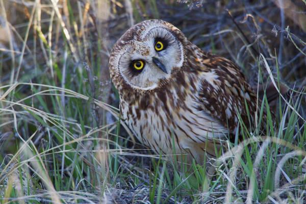 Ken Photograph - Short-eared Owl by Ken Archer