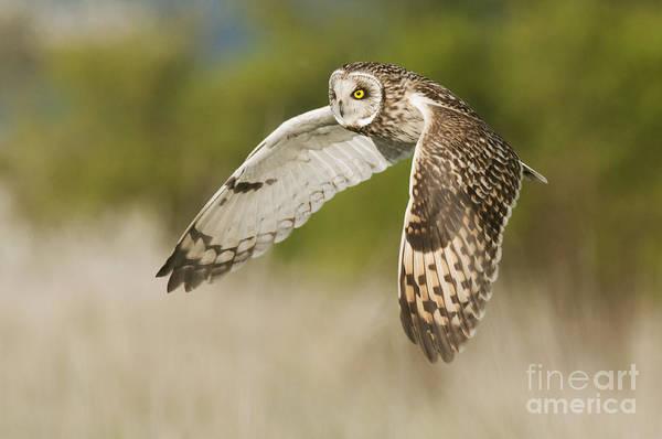 Photograph - Short-eared Owl by Robert Canis FLPA