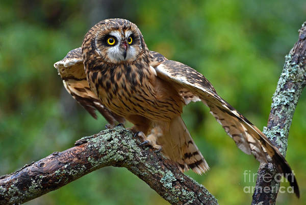Photograph - Short Eared Owl by Rodney Campbell