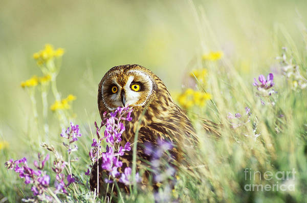 Photograph - Short-eared Owl by Thomas and Pat Leeson