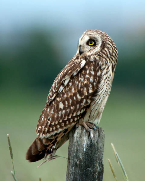 Photograph - Short-eared Owl by Torbjorn Swenelius