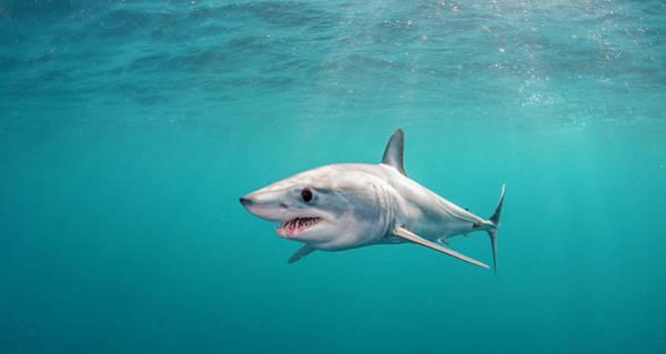 Scuba Diving Photograph - Short Fin Mako by By Wildestanimal
