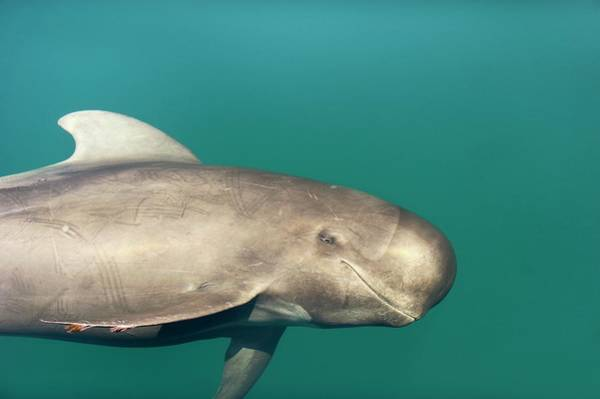 Sea Of Cortez Photograph - Short-finned Pilot Whale by Christopher Swann