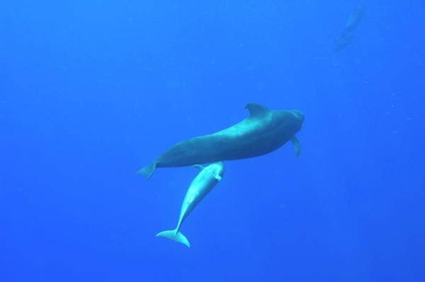 Behaviour Photograph - Short-finned Pilot Whale Suckling by Christopher Swann/science Photo Library