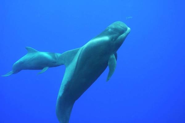 Behaviour Photograph - Short-finned Pilot Whales by Christopher Swann/science Photo Library