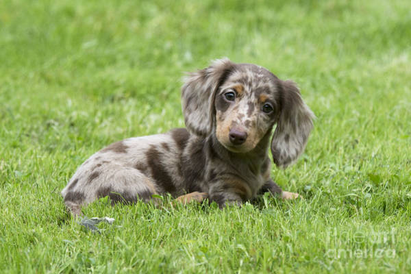 Photograph - Short-haired Dachshund Puppy by John Daniels