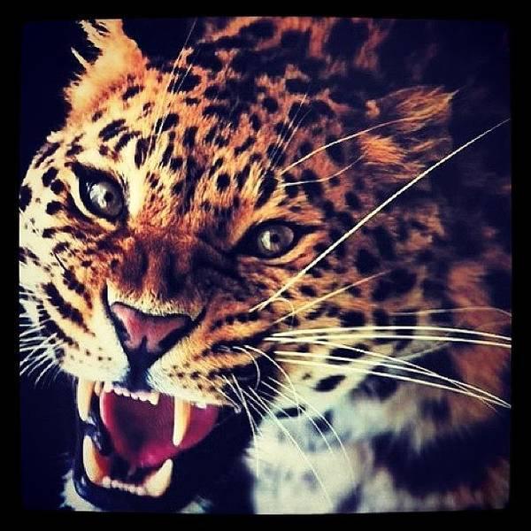 Jaguar Photograph - Should Always Be As Large Jaguars by Erick Enrique C