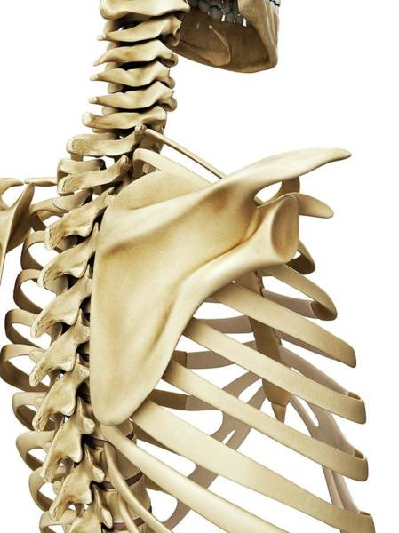 Head And Shoulders Photograph - Shoulder Blade by Sciepro/science Photo Library