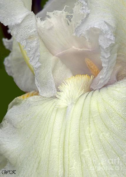 Photograph - Shouting Iris by Wanda Krack