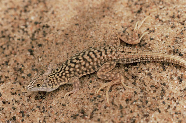 Shovel Photograph - Shovel-snouted Lizard by Sinclair Stammers/science Photo Library