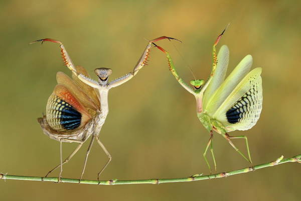 Pair Photograph - Show Time by Hasan Baglar