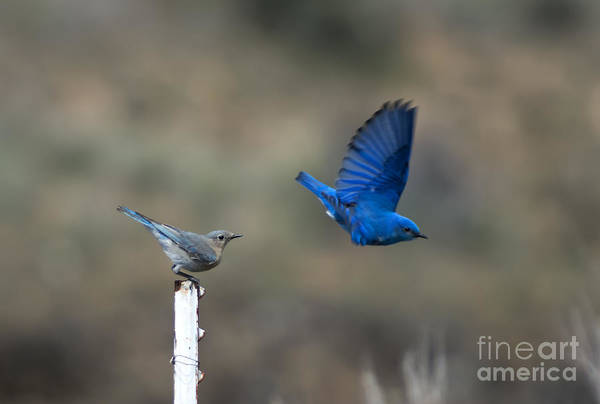 Bird Pair Photograph - Showing Off by Mike  Dawson