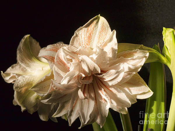 Photograph - Showy Beauty by Brenda Kean