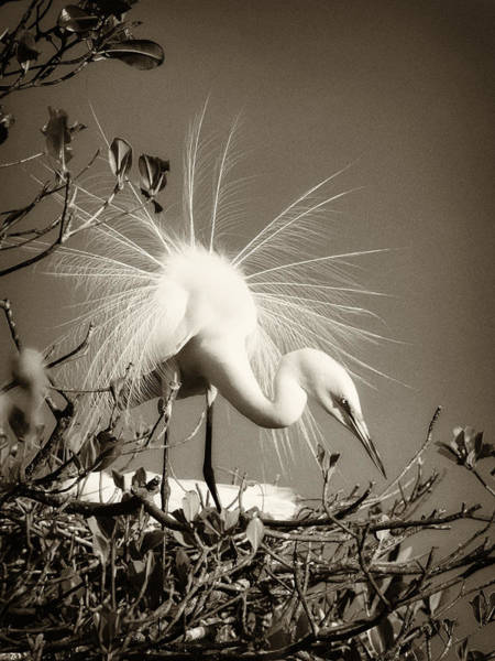 Photograph - Showy Great Egret by Patrick M Lynch