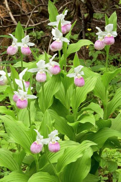Lady Slippers Photograph - Showy Lady's-slipper Orchid (cypripedium Reginae) by Bob Gibbons/science Photo Library