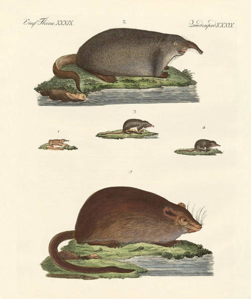 Wall Art - Drawing - Shrew Mice And Musk Mices by Splendid Art Prints