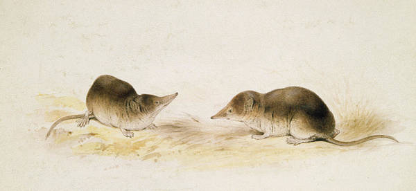 Rodents Photograph - Shrews Wc On Paper by Edward Lear