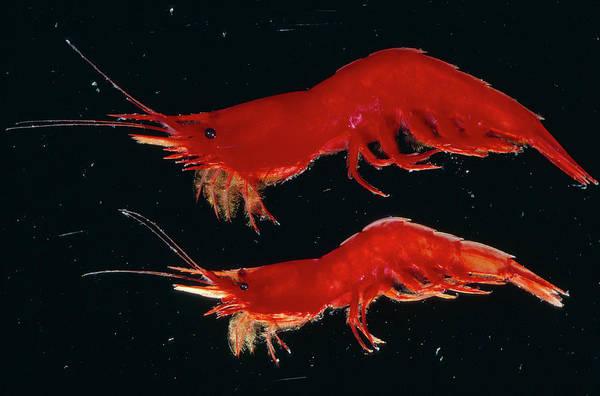 Antarctic Wall Art - Photograph - Shrimp by British Antarctic Survey/science Photo Library