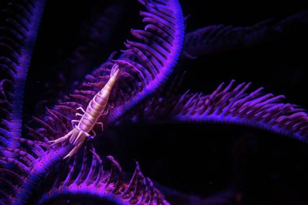 Wall Art - Photograph - Shrimp On Crinoid Fluorescing At Night by Louise Murray/science Photo Library