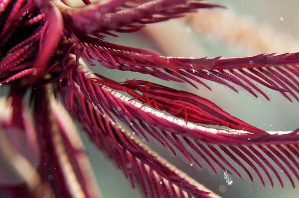 Feather Stars Wall Art - Photograph - Shrimp On The Arm Of A Featherstar by Scubazoo