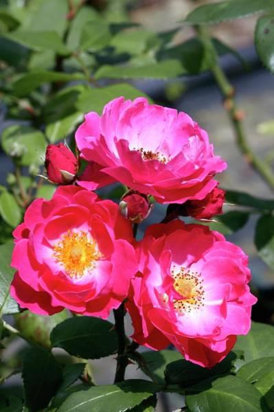 Magenta Photograph - Shrub Rose 'bordure Magenta' by Brian Gadsby/science Photo Library
