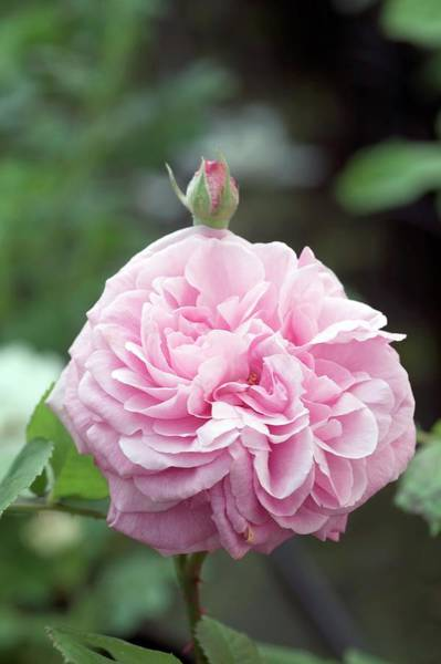 Rose In Bloom Photograph - Shrub Rose (gertrude Jekyll) by Brian Gadsby/science Photo Library