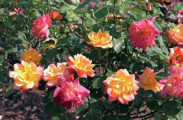 Rose In Bloom Photograph - Shrub Rose (joseph's Coat) by Brian Gadsby/science Photo Library