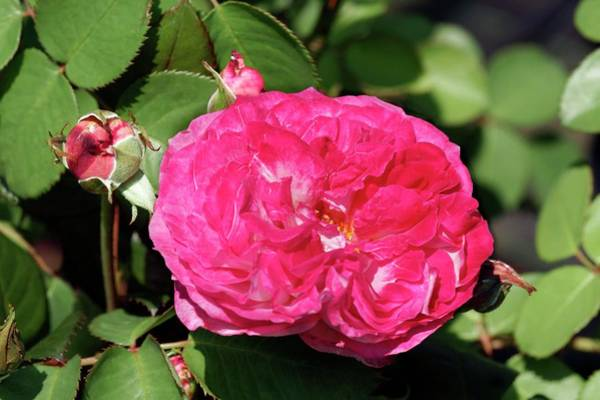 Rose In Bloom Photograph - Shrub Rose (pascal Sevran) by Brian Gadsby/science Photo Library