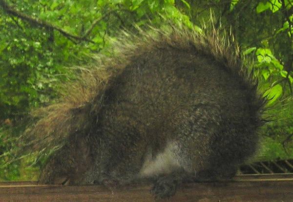 Photograph - Shy Punk Squirrel by R  Allen Swezey