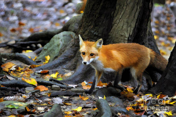 Photograph - Shy Red Fox by Dan Friend