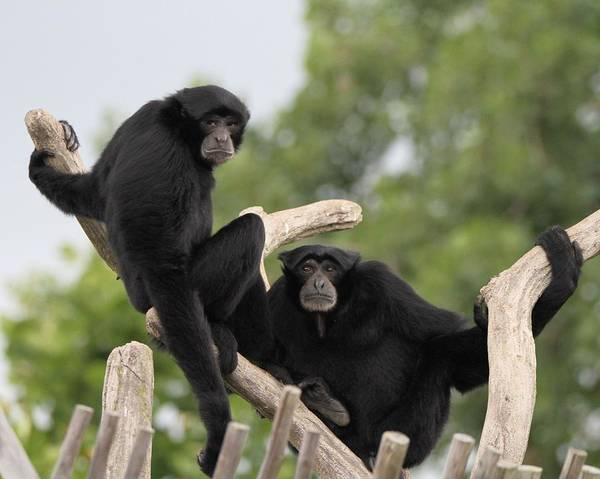 Photograph - Siamang Monkeys by Dan Sproul