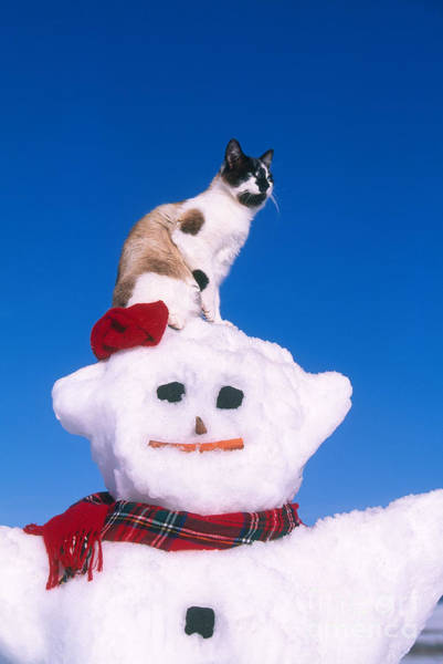 Photograph - Siamese Cat On Snowman by Alan and Sandy Carey