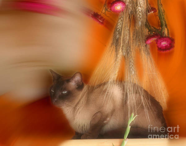 Photograph - Siamese Cat by Smilin Eyes  Treasures