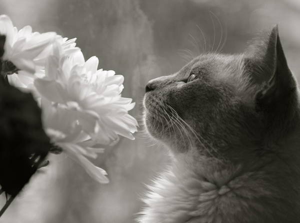 Siamese Cat With Flowers Art Print