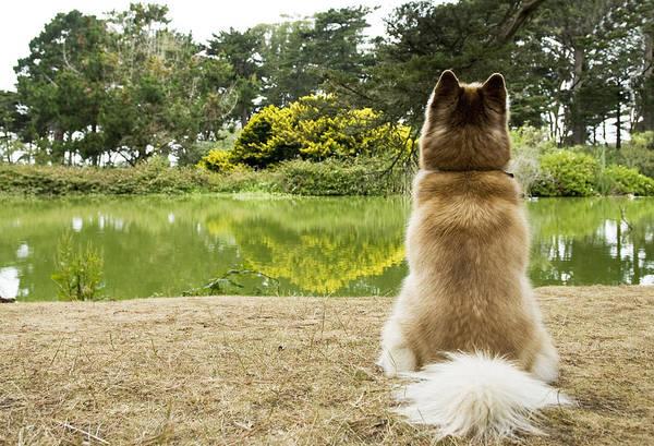 Siberian Husky Admiring Lake View, San Francisco, California, Usa Art Print by Bojana Korach