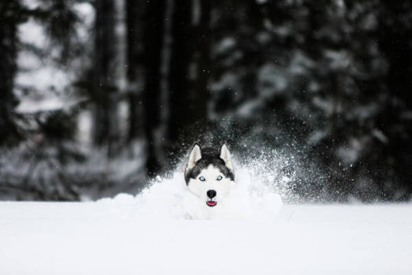 Wall Art - Photograph - Siberian Husky Is Running In The Snow by Adam Kokot