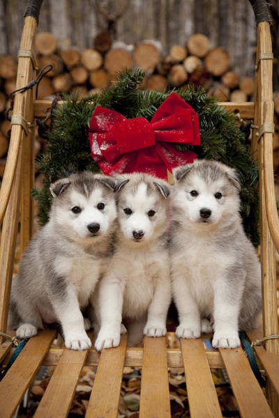 Christmas Photograph - Siberian Husky Puppies In Traditional by Jeff Schultz