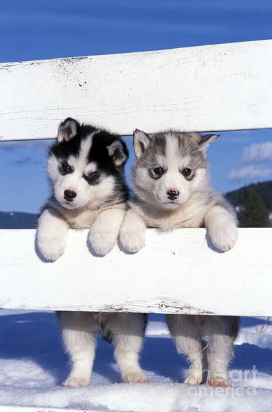 Photograph - Siberian Husky Puppies by Rolf Kopfle