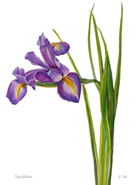 Siberian Iris - Iris Sibirica Art Print