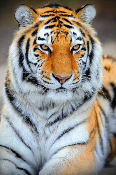 Photograph - Siberian Tiger by Clint Buhler