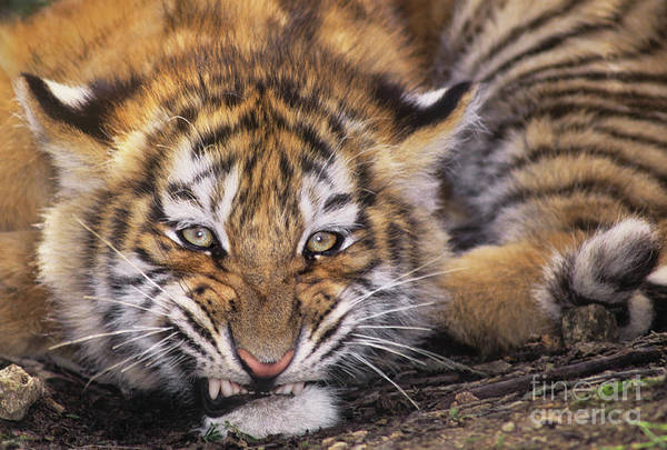Photograph - Siberian Tiger Cub Panthera Tigris Altaicia Wildlife Rescue by Dave Welling