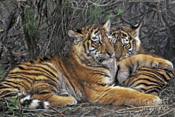 Photograph - Siberian Tiger Cubs Endangered Species Wildlife Rescue by Dave Welling
