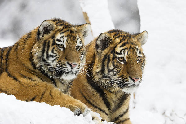 Photograph - Siberian Tiger Cubs In Snow by Konrad Wothe