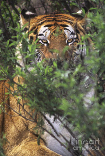 Photograph - Siberian Tiger In Hiding Wildlife Rescue by Dave Welling