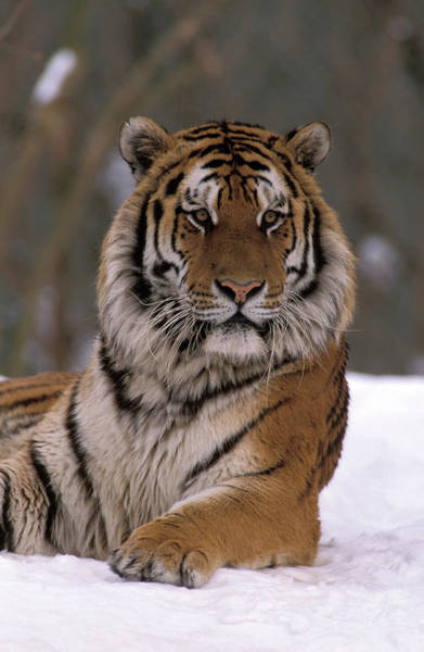 Wall Art - Photograph - Siberian Tiger In The Snow by Animal Images