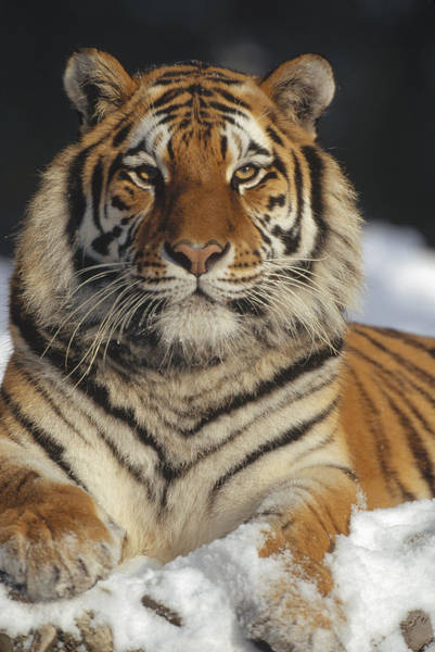 Photograph - Siberian Tiger Portrait In Snow China by Konrad Wothe
