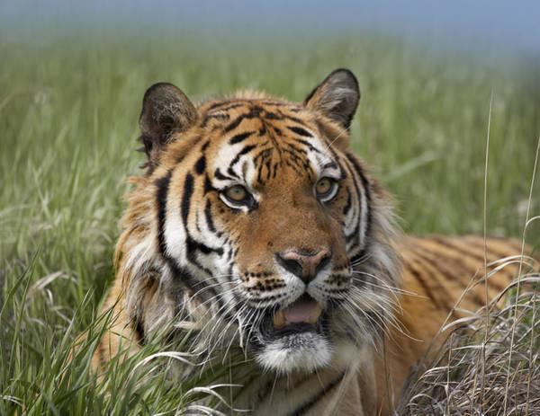 Photograph - Siberian Tiger Portrait by Tim Fitzharris