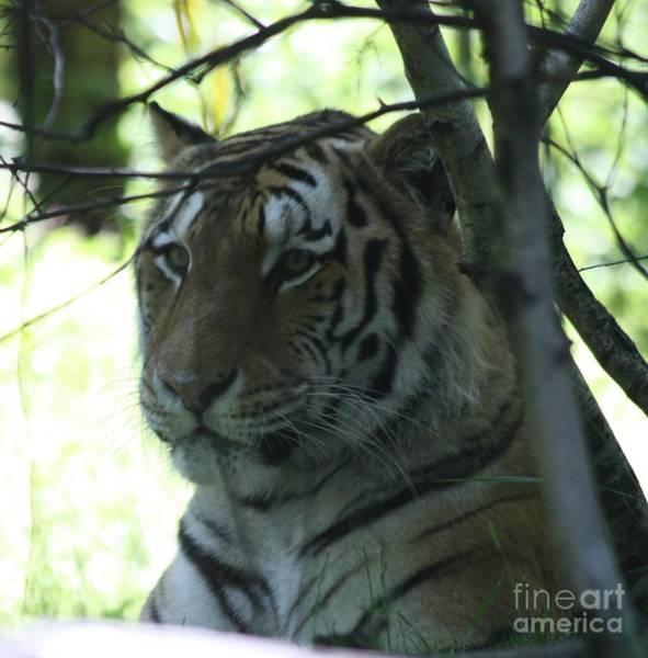 Wall Art - Photograph - Siberian Tiger Profile by John Telfer