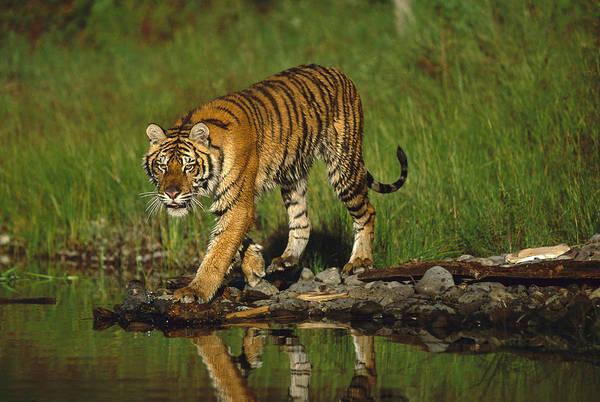 Photograph - Siberian Tiger Walking Along Waters Edge by Tim Fitzharris